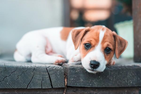 crop_sm_Puppy
